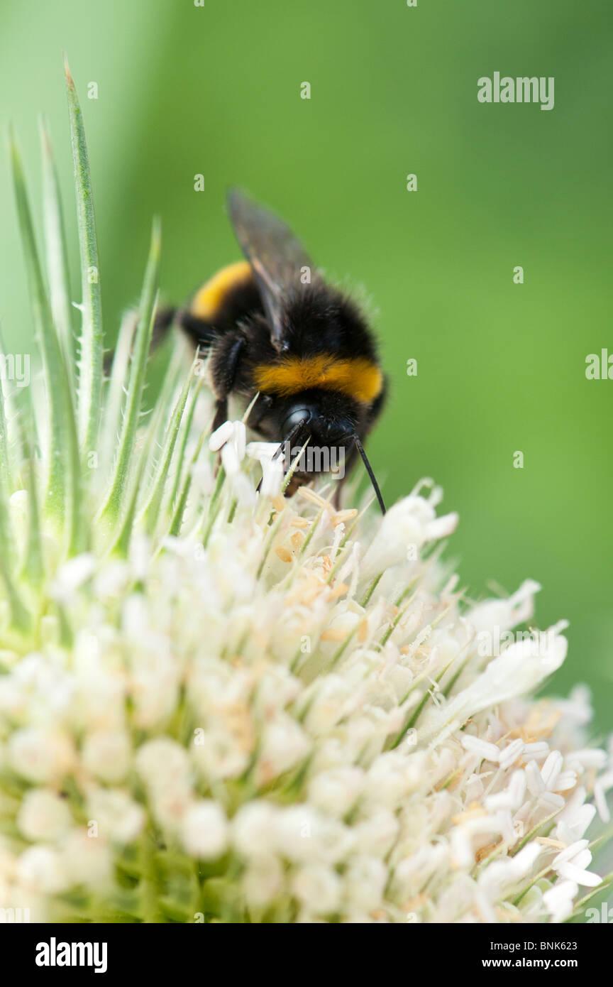 Bombus hortorum and Dipsacus laciniatus. Bumble bee feeding on white teasel flowers - Stock Image