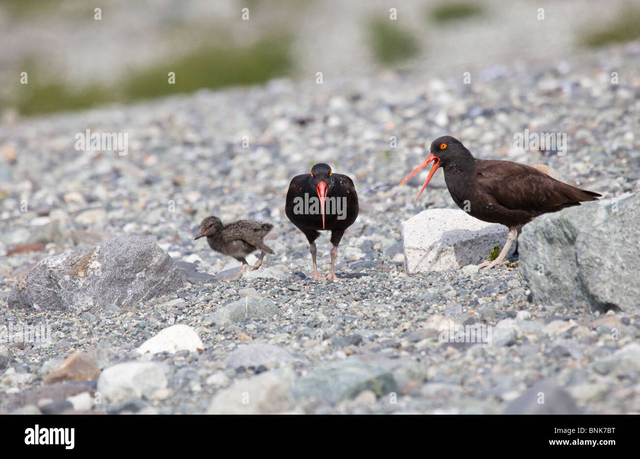 USA Alaska Glacier Bay National Park Black Oystercatchers with chick - Stock Image