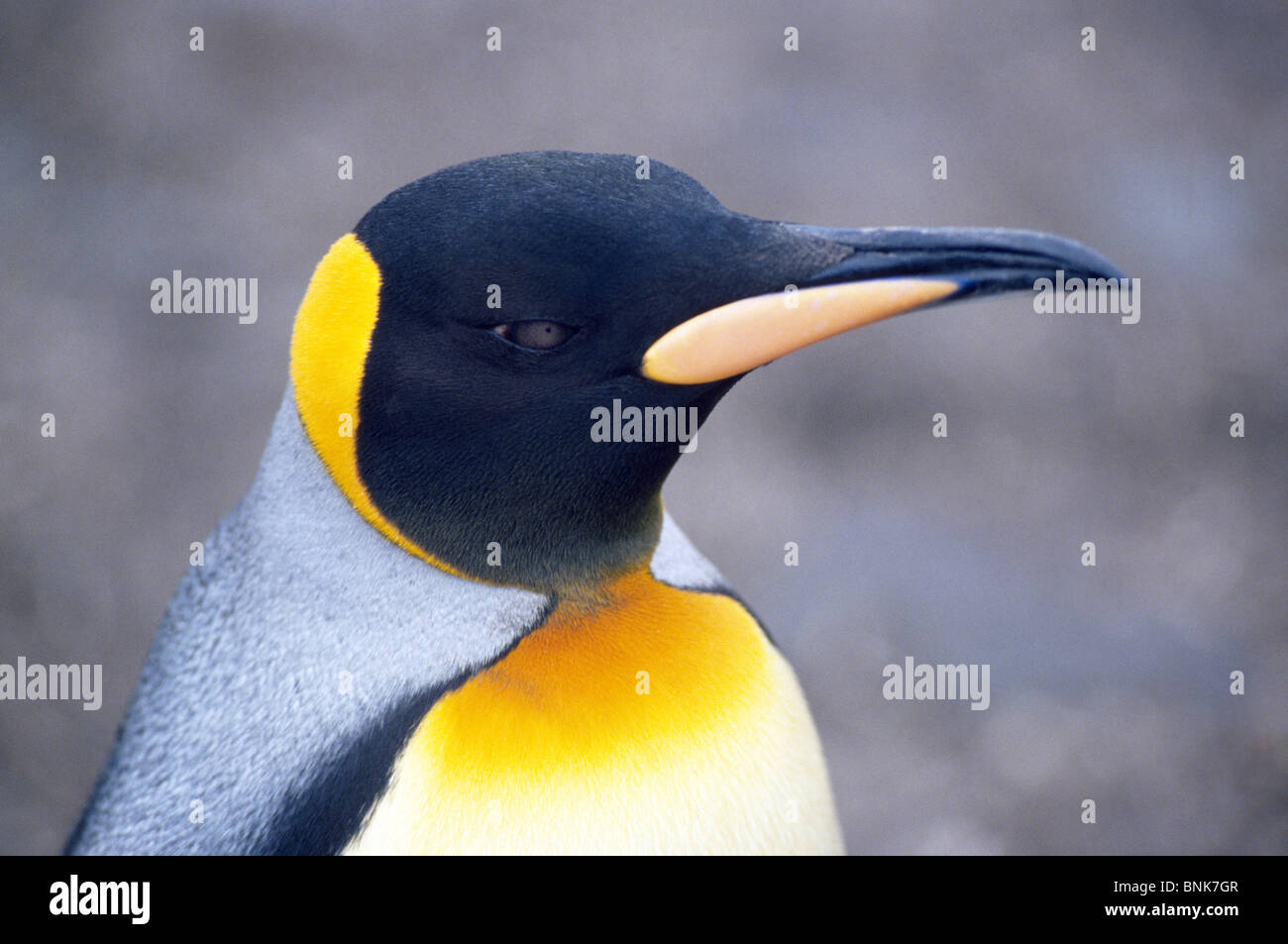 Orange plumage on the head and upper chest identify King Penguins, like this one on South Georgia Island in the - Stock Image