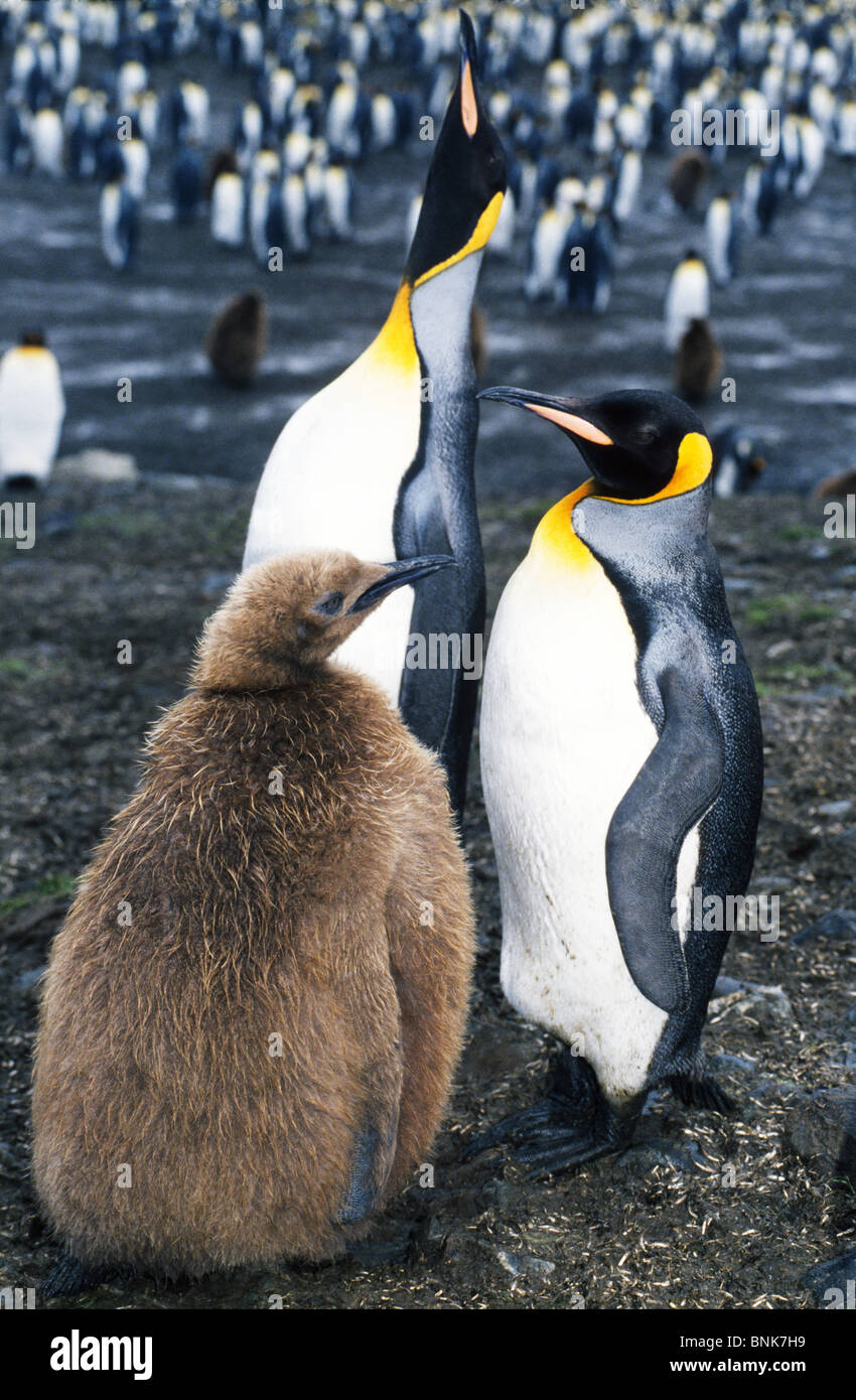 A family of King Penguins stay together in a penguin colony at St. Andrews Bay on South Georgia Island in the South - Stock Image