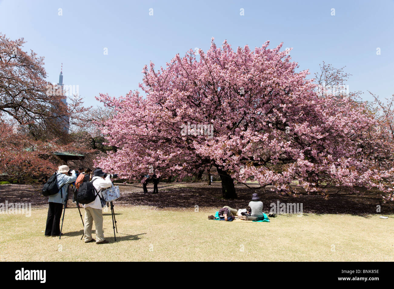 People taking photos of cherry blossom tree in Shinjuku Gyoen, Tokyo, Japan - Stock Image
