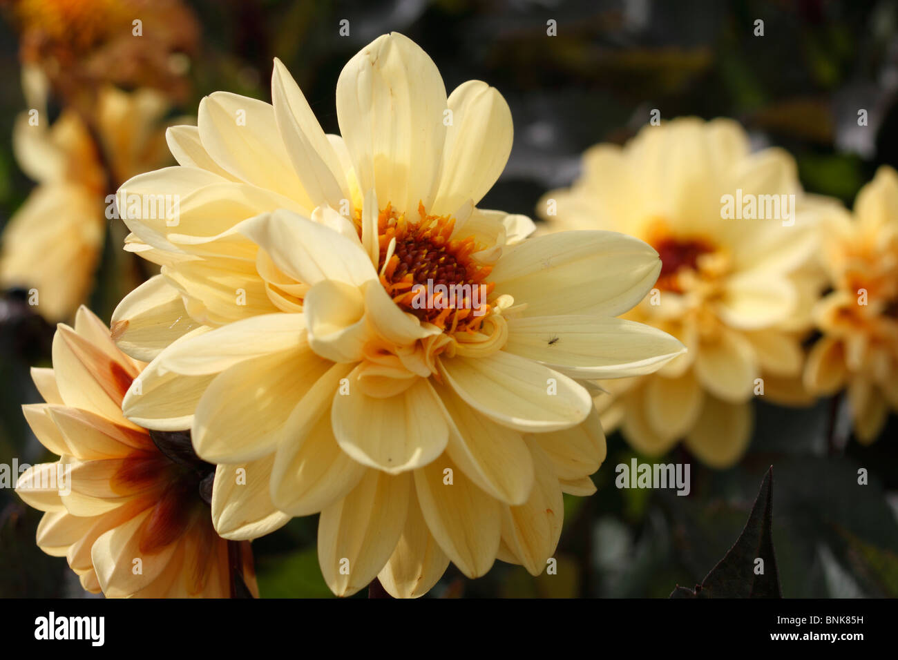 Asteraceae Dahlia Chic Yellow Ball Flower With Dark Foliage Stock