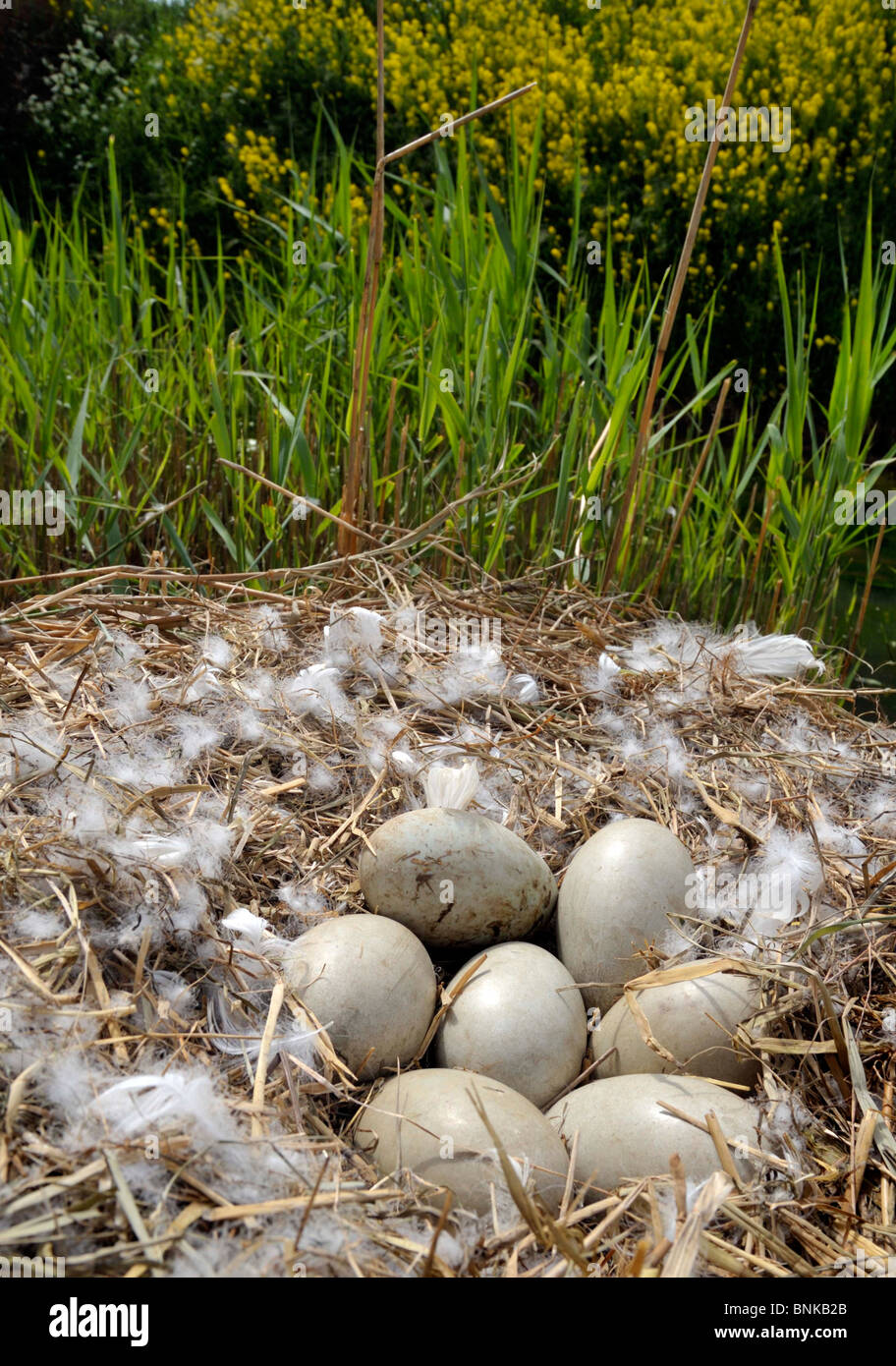 Mute Swan's nest and clutch of 7 eggs. Cygnus olor. - Stock Image