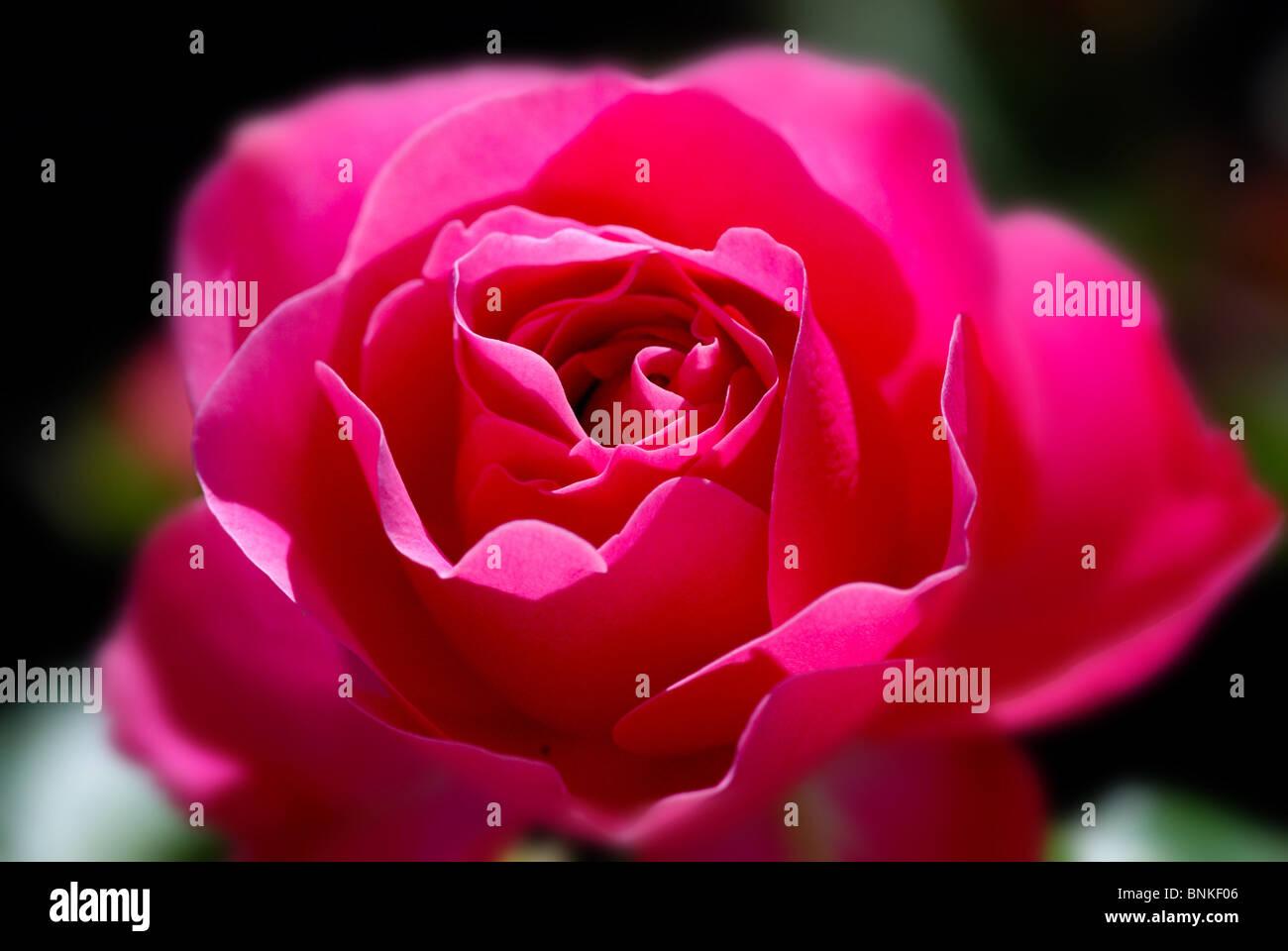 Rose Pink Red Pink Color Flower Plant Blossom Flourish Petals Nature