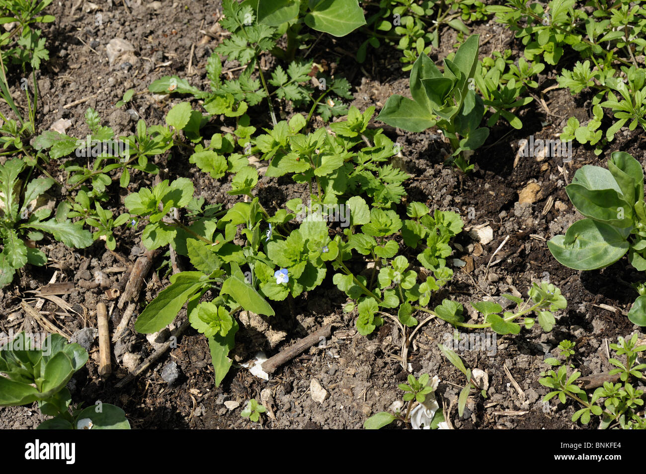 Broad-leaved weeds among young beans in a garden vegetable patch, Devon - Stock Image
