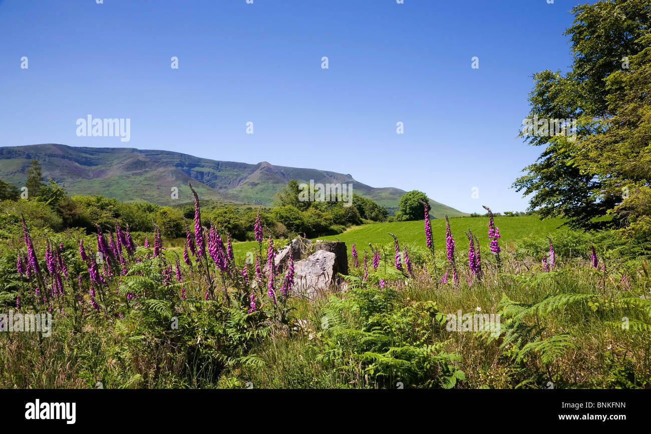 Foxgloves on Croaghaun, Comeragh Mountains, County Waterford, Ireland - Stock Image