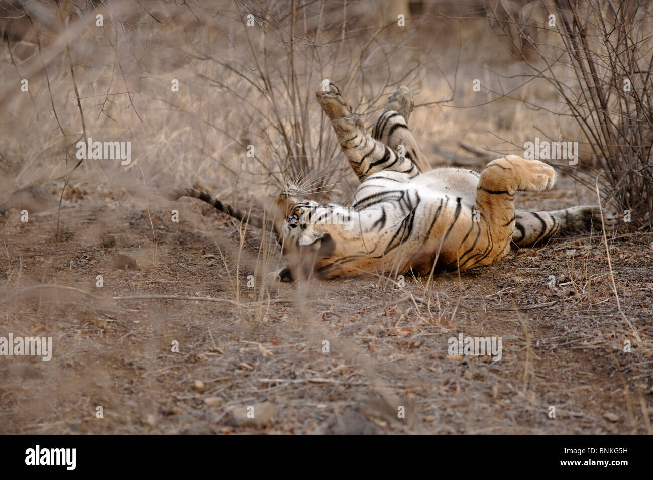 A Bengal Tiger rolling in dry Habitat forest of Ranthambhore, India. ( Panthera Tigris ) Stock Photo