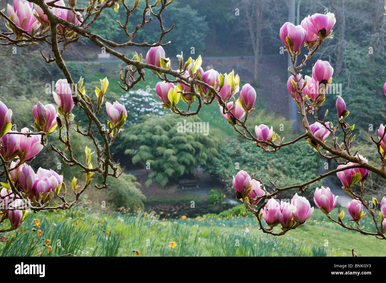 Magnolia Tree Stock Photos & Magnolia Tree Stock Images - Alamy