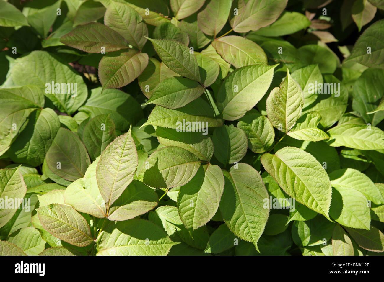 Wild Sarsaparilla, Auralia nudicaulis, rhizome, Native Aremican herbal medicine - Stock Image
