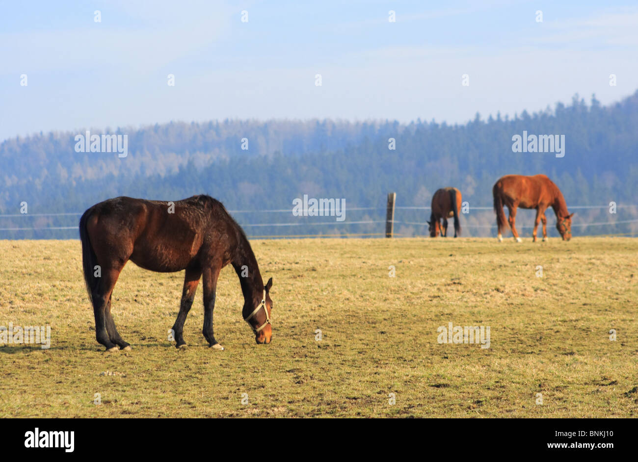 Horse grazing, grass and forest - Stock Image