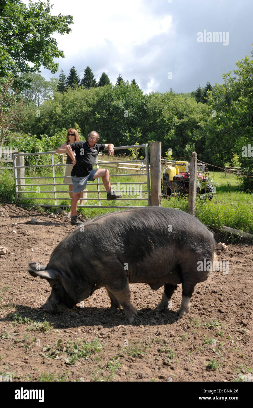 Berkshire boar in domestic setting feeding with his owners - Stock Image