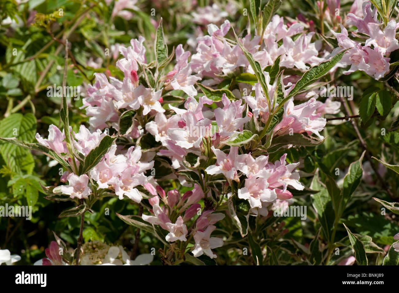 Weigela florida variegata flowering garden shrub - Stock Image