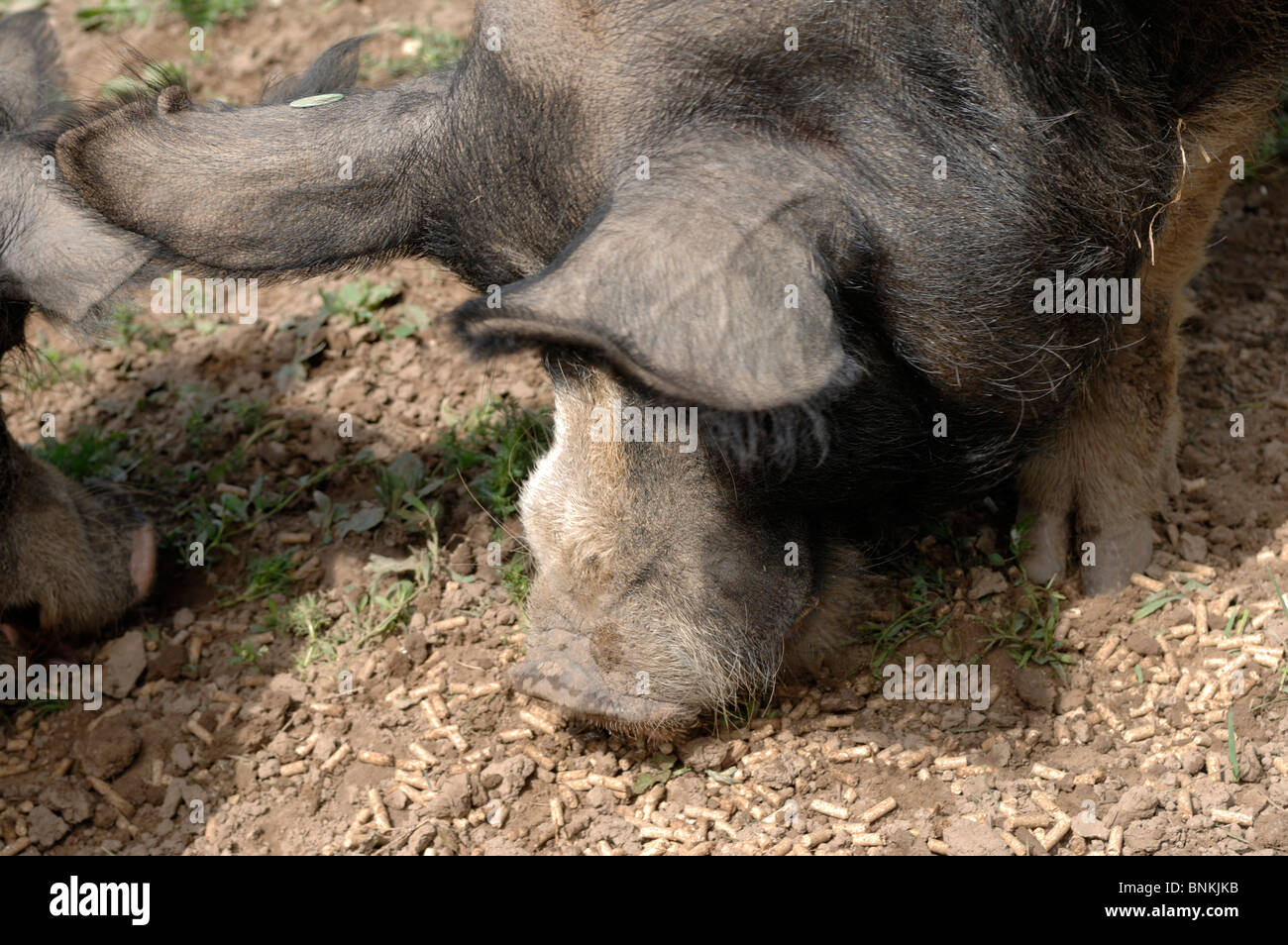 Berkshire boar feeding on nuts in domestic setting - Stock Image