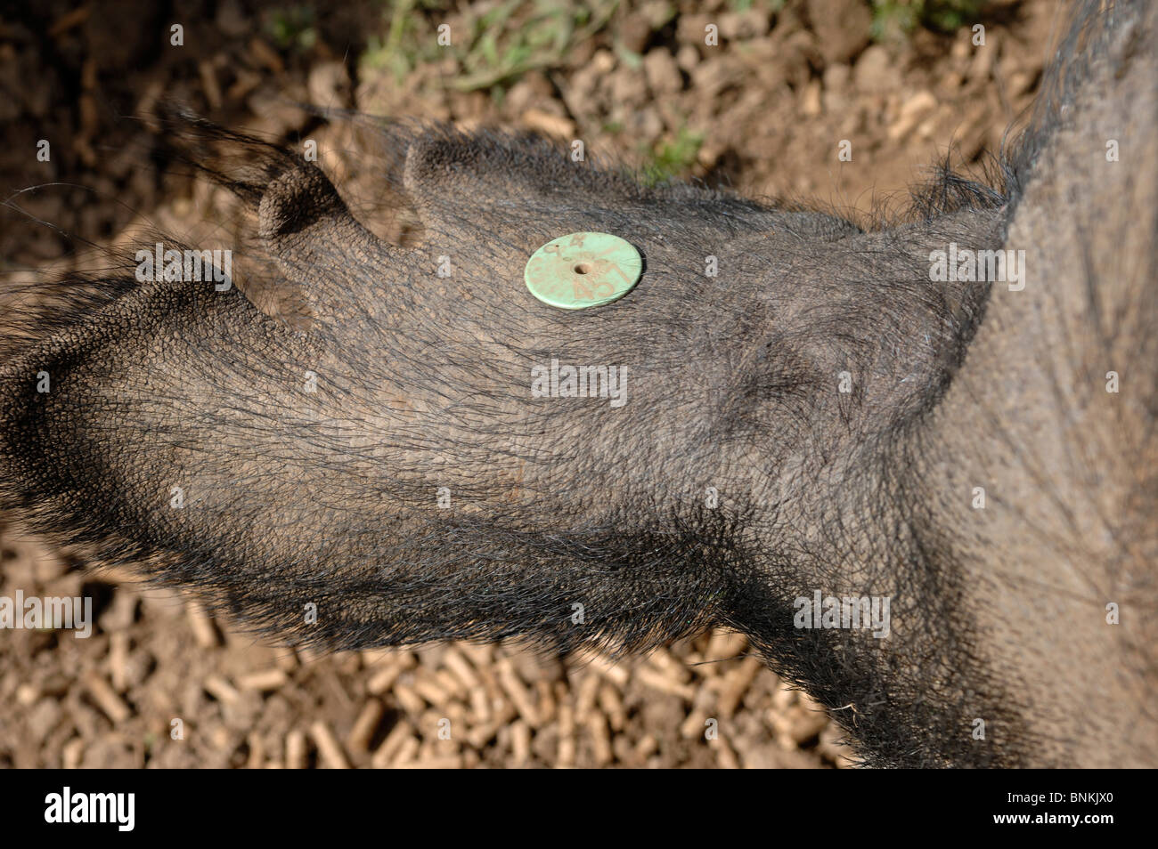 Ear tag in the torn ear of a Berkshire boar - Stock Image