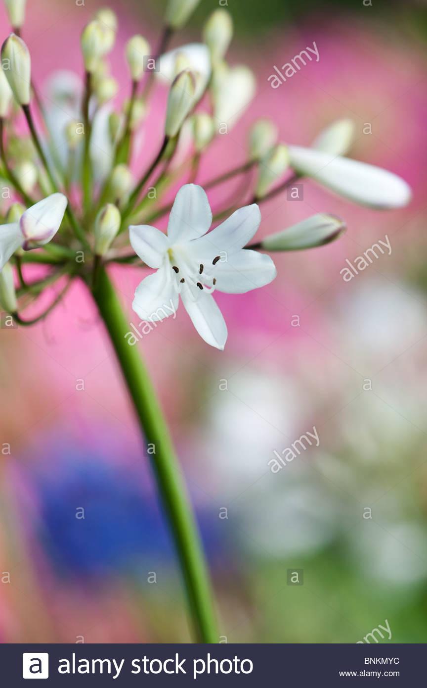 Agapanthus Campanulatus var. Albidus. African lily 'Albidus' - Stock Image