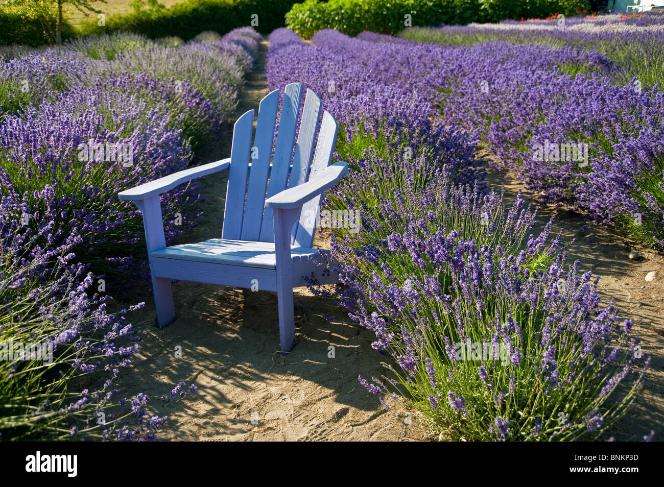 An light blue colored wooden chair in the middle of blooming lavenders - Stock Image