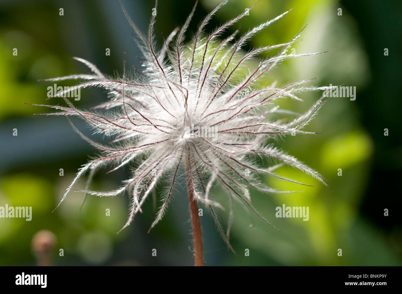 Pulsatilla vulgaris Pasqueflower Seed head Fruit of Pulsatilla alpina - Stock Image