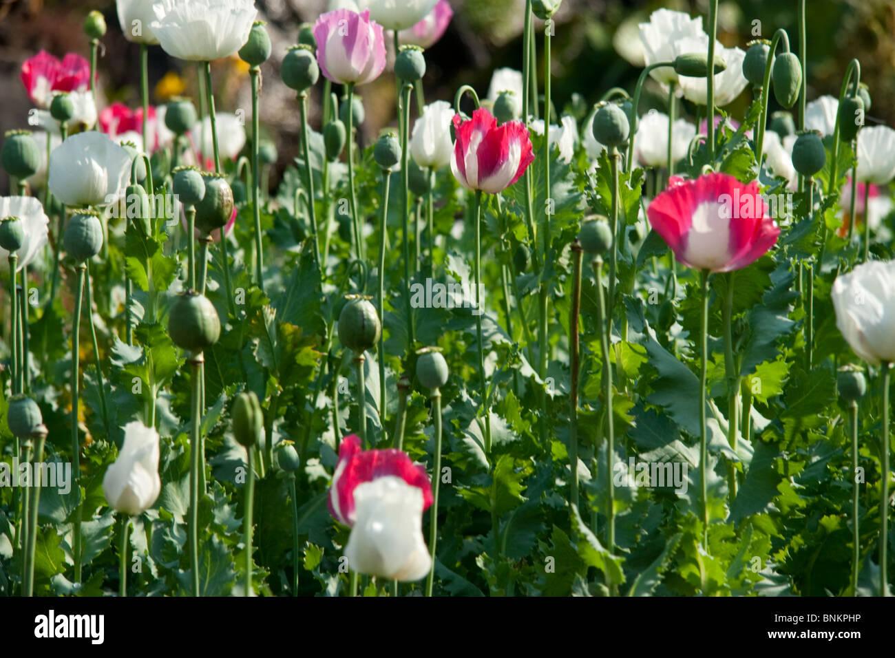 Opium poppy flowers chiang mai thailand stock photo 30552978 alamy opium poppy flowers chiang mai thailand mightylinksfo