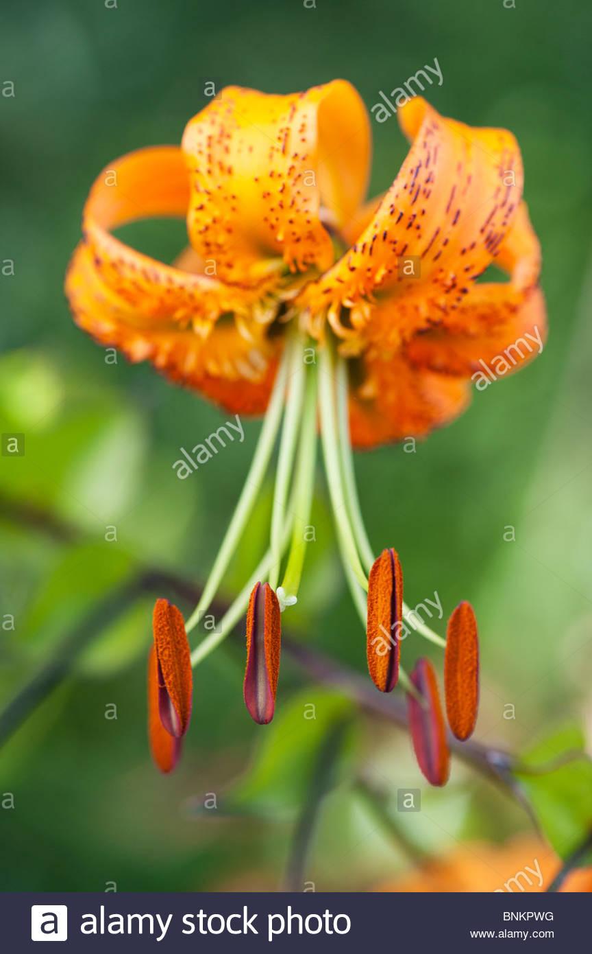 Lilium Henryi Tiger Lily Henrys Lily Flower Detailing On Stamen