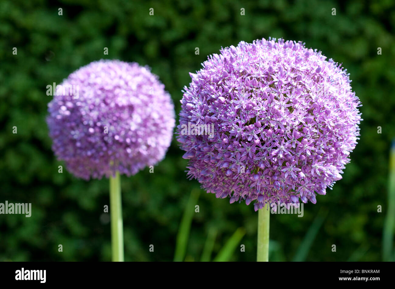 Allium Ambassador - Stock Image