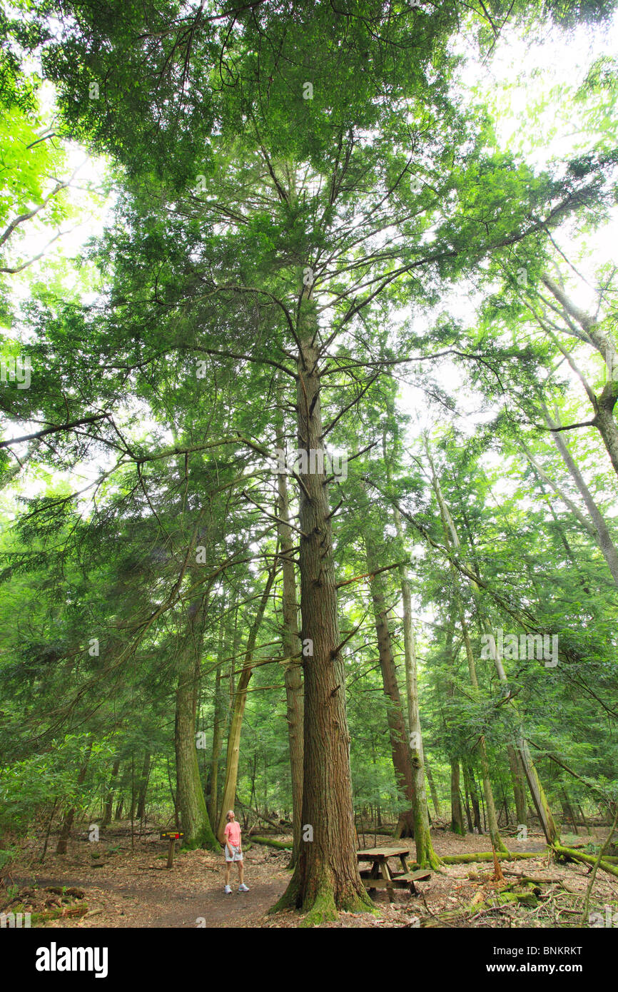 A hiker stops to admire a tall hemlock tree in Cathedral State Park, Brookside, West Virginia, USA Stock Photo