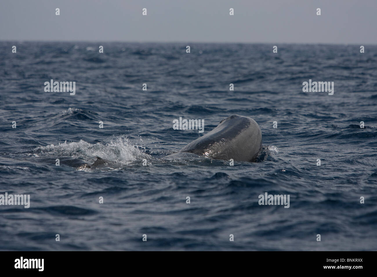 Sperm whale Cachalote Pottwal Physeter macrocephalus Pico Azores Portugal head with blowhole - Stock Image