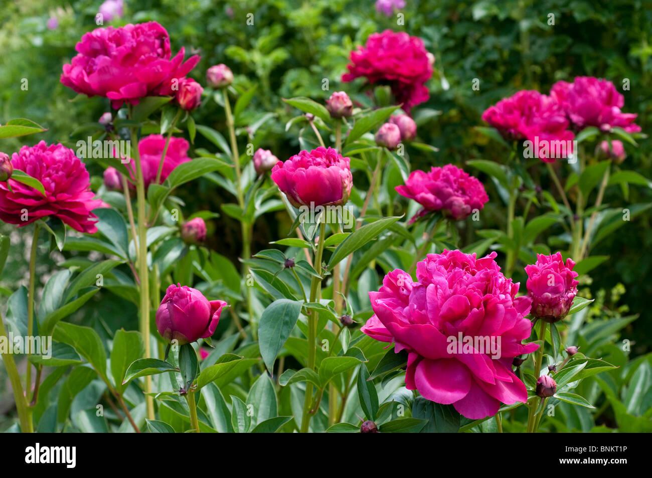 Peony Paeonia lactiflora PAUL M WILD Stock Photo