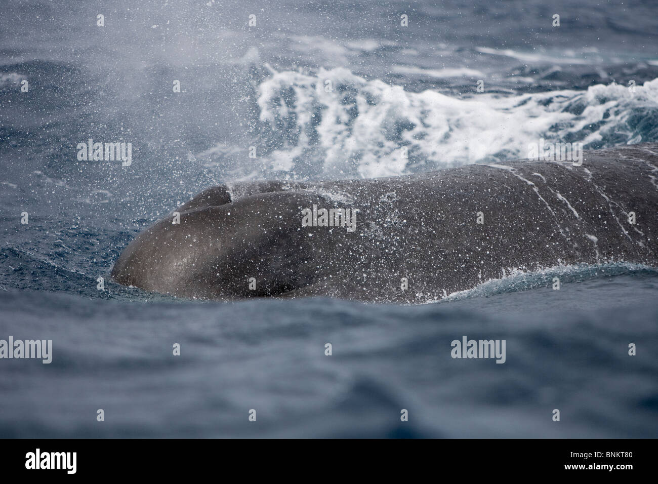 Sperm whale Cachalote Pottwal Physeter macrocephalus Pico Azores Portugal blowhole - Stock Image