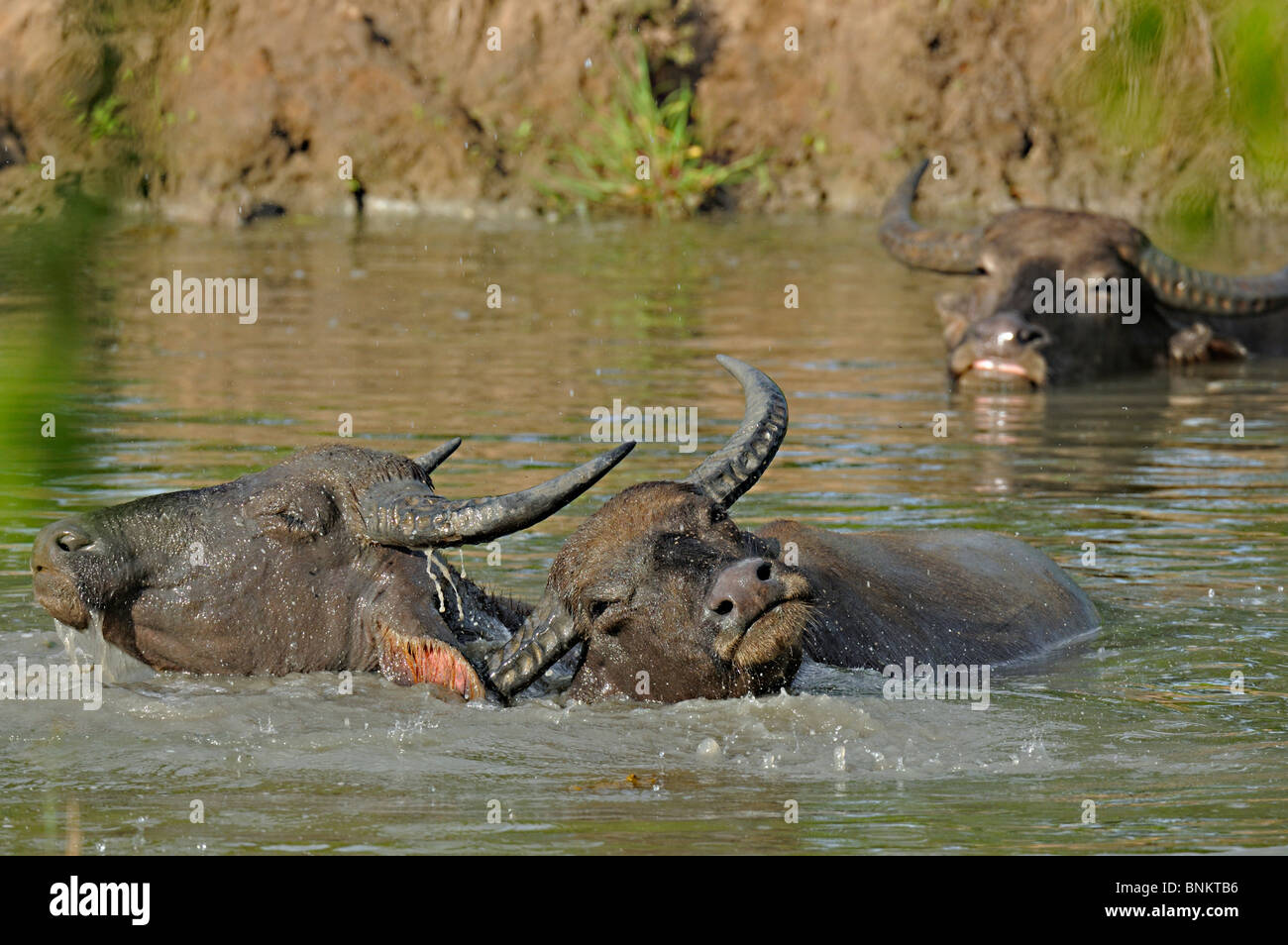 Wild water buffalos playing in Yala or Ruhuna National Park in Sri Lanka - Stock Image