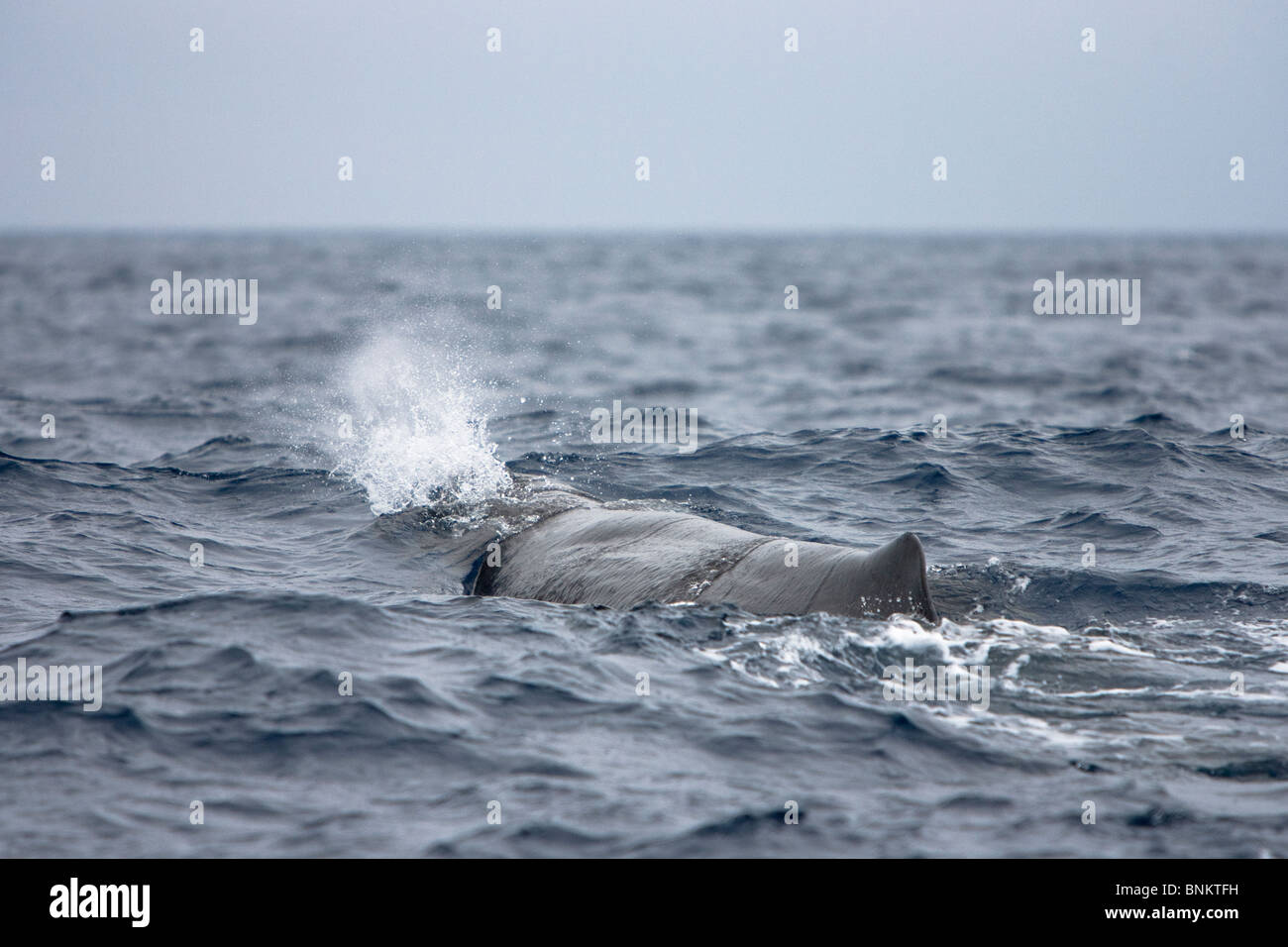 Sperm whale Cachalote Pottwal Physeter macrocephalus Pico Azores Portugal - Stock Image