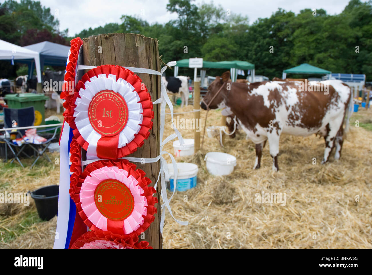 Rosettes for prize winning cattle at Penrith Show - Stock Image