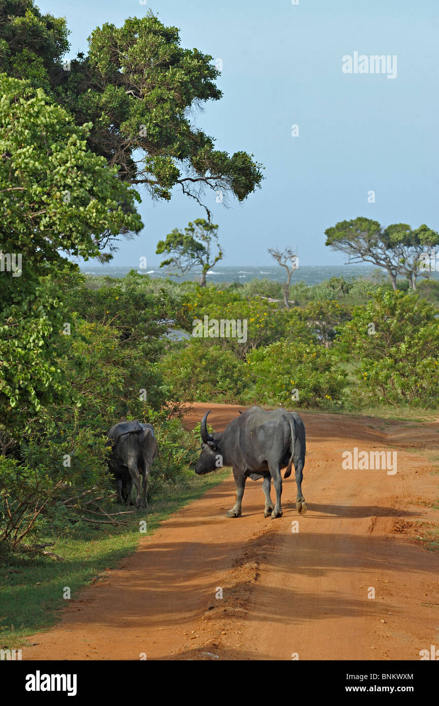 Wild water buffalos near the coast in Yala or Ruhuna National Park in Sri Lanka - Stock Image