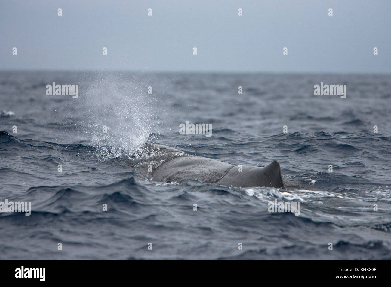 Sperm whale Cachalote Pottwal Physeter macrocephalus Pico Azores Portugal blowing - Stock Image