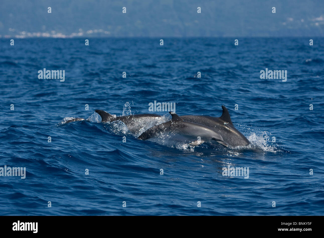 Atlantic Spotted Dolphin Atlantischer Fleckendelfin Stenella frontalis Pico Azores Portugal calf with mother - Stock Image