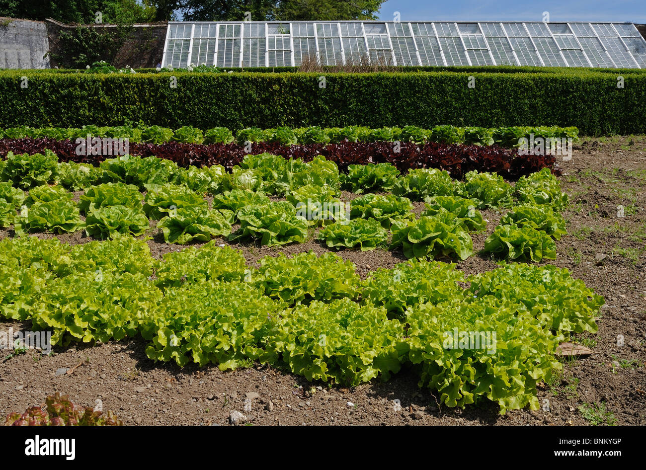 rows of lettuce in the kitchen garden at heligan gardens  in cornwall, uk - Stock Image