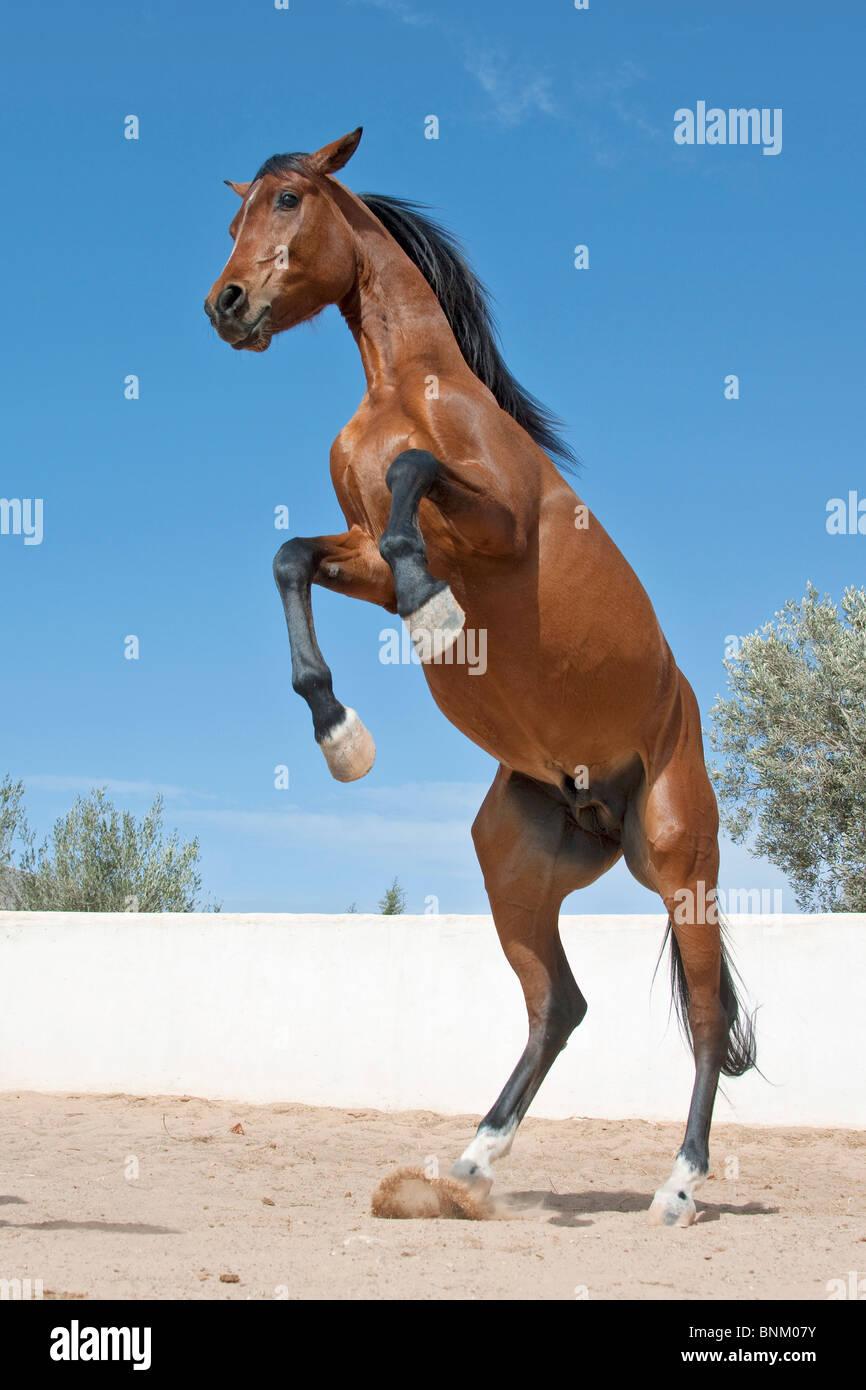 Anglo Arabian Horse Rearing Stock Photo Alamy