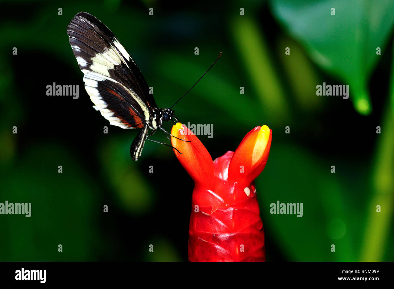 Butterfly on a red flower bulb. Stock Photo
