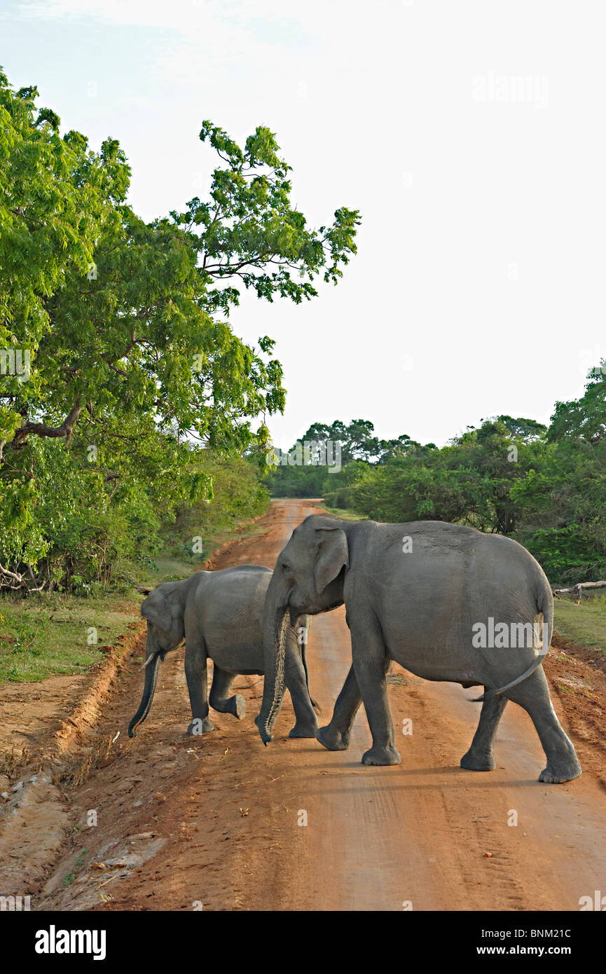 Elephants near the coast in Yala or Ruhuna National Park in Sri Lanka - Stock Image