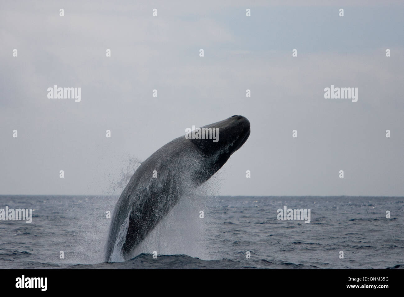 Sperm whale Cachalote Pottwal Physeter macrocephalus Pico Azores Portugal female breaching - Stock Image