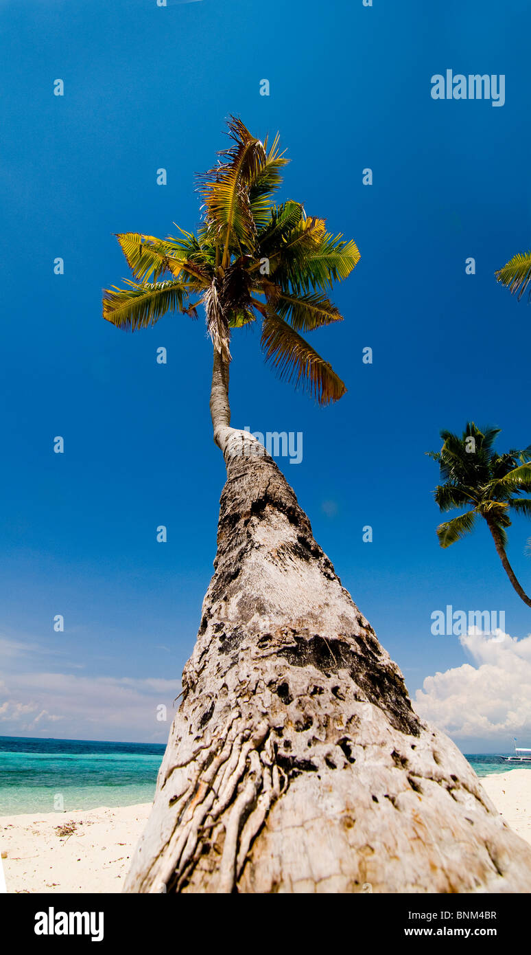 It is a long way up the coconut tree. - Stock Image