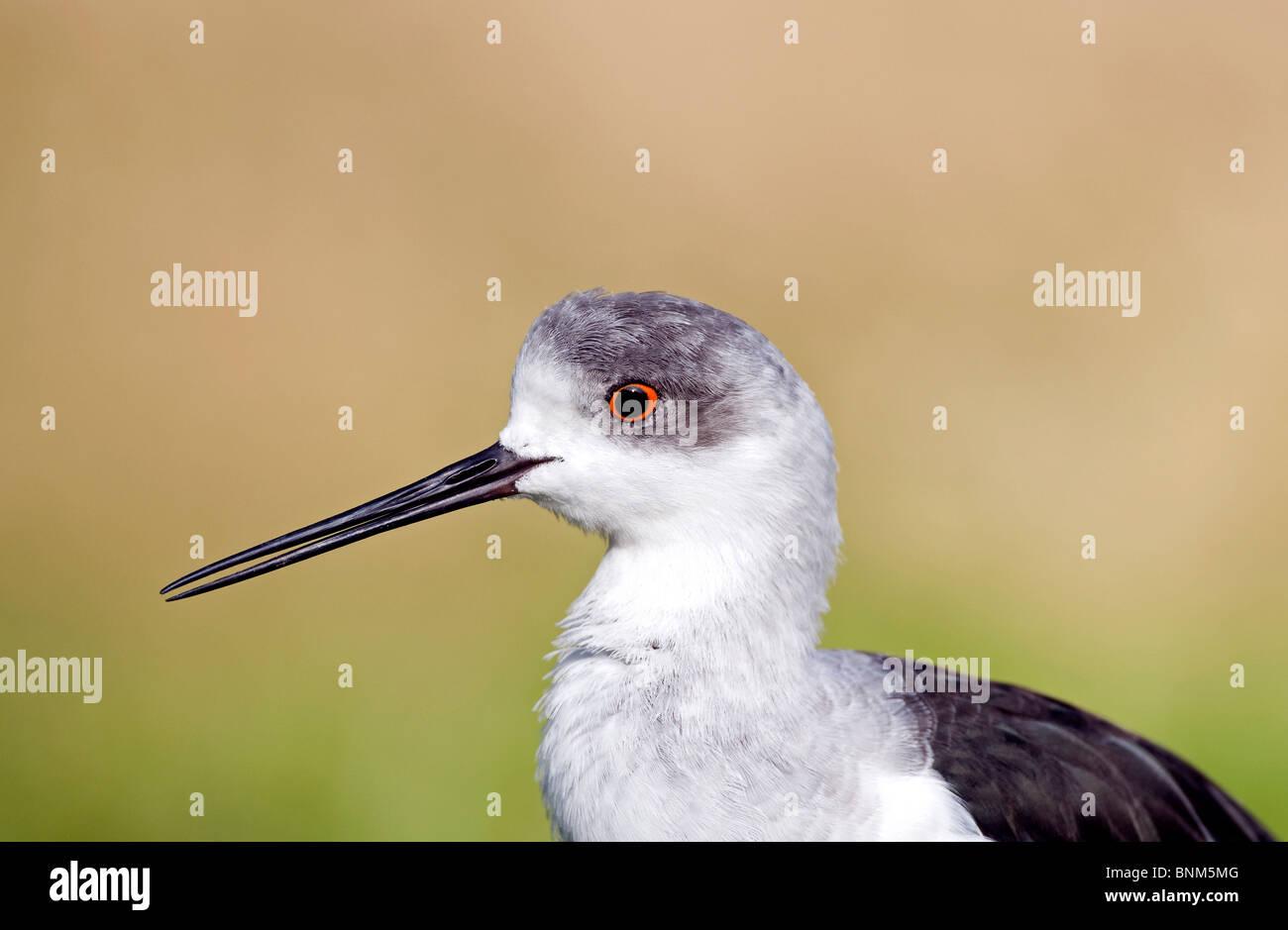 Black-winged Stilt Himantopus himantopus portrait bird animal nature head close up detail portrait profile endangered - Stock Image