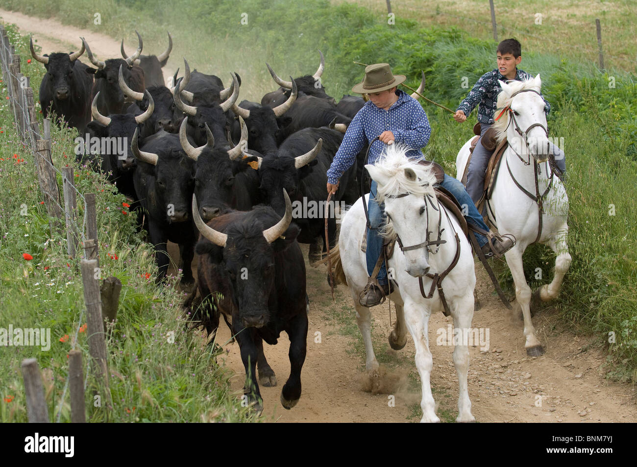 France Camargue guardians gardians Camargue cattle bulls herd chase pasture  grazing land path fence two horses 2013ef4ee8a