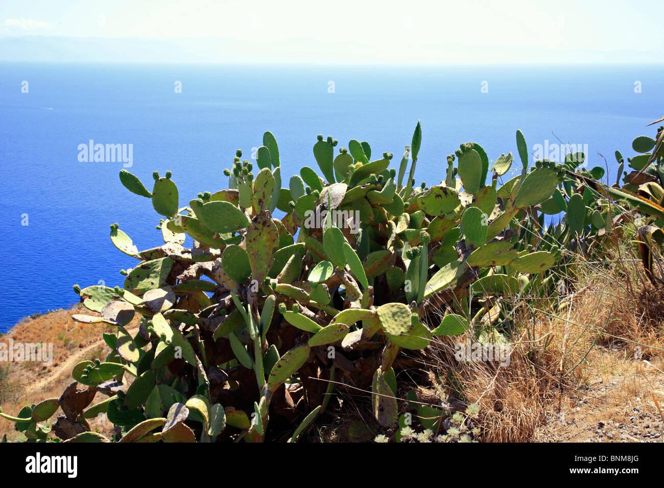 nature plant life cactus prickly pear Opuntia ficus-indica Tyrrhenian Sea Mediterranean Sea Italy - Stock Image