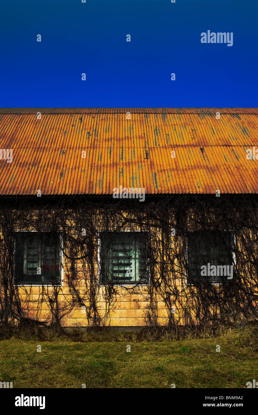 Old abandoned industrial barrack with ivy growing on the wall partly covering the windows - Stock Image