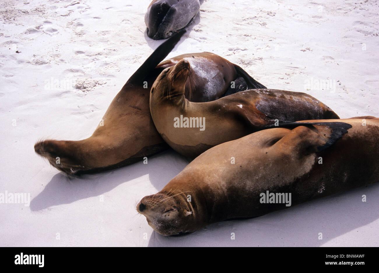 Sea Lions laze on the beach on Espanola island, Galapagos. - Stock Image