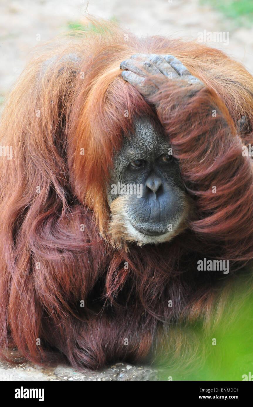 Orangutan, Pongo pygmaeus close up - Stock Image