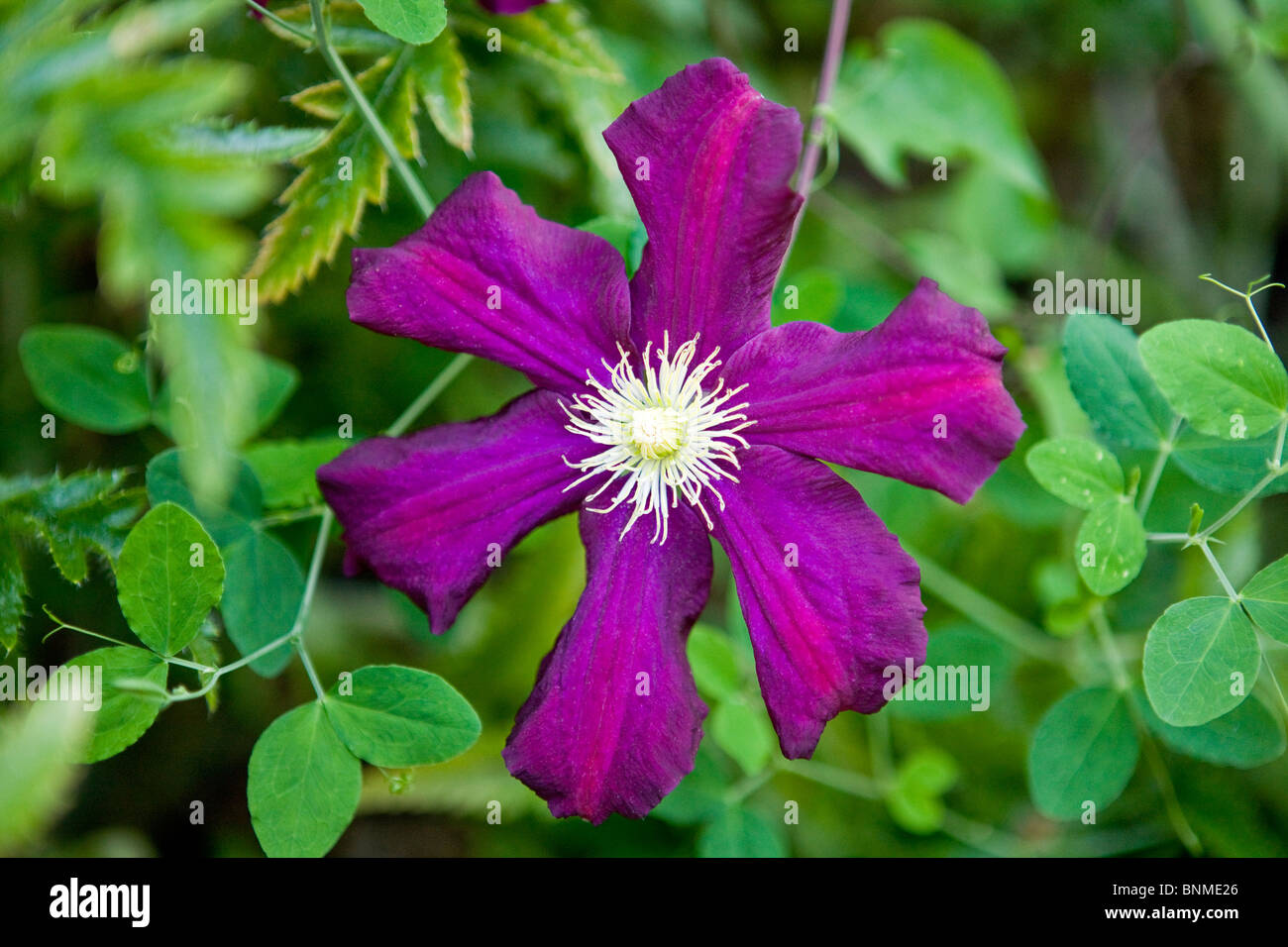 A magenta niobe clematis flower with green leaves - Stock Image