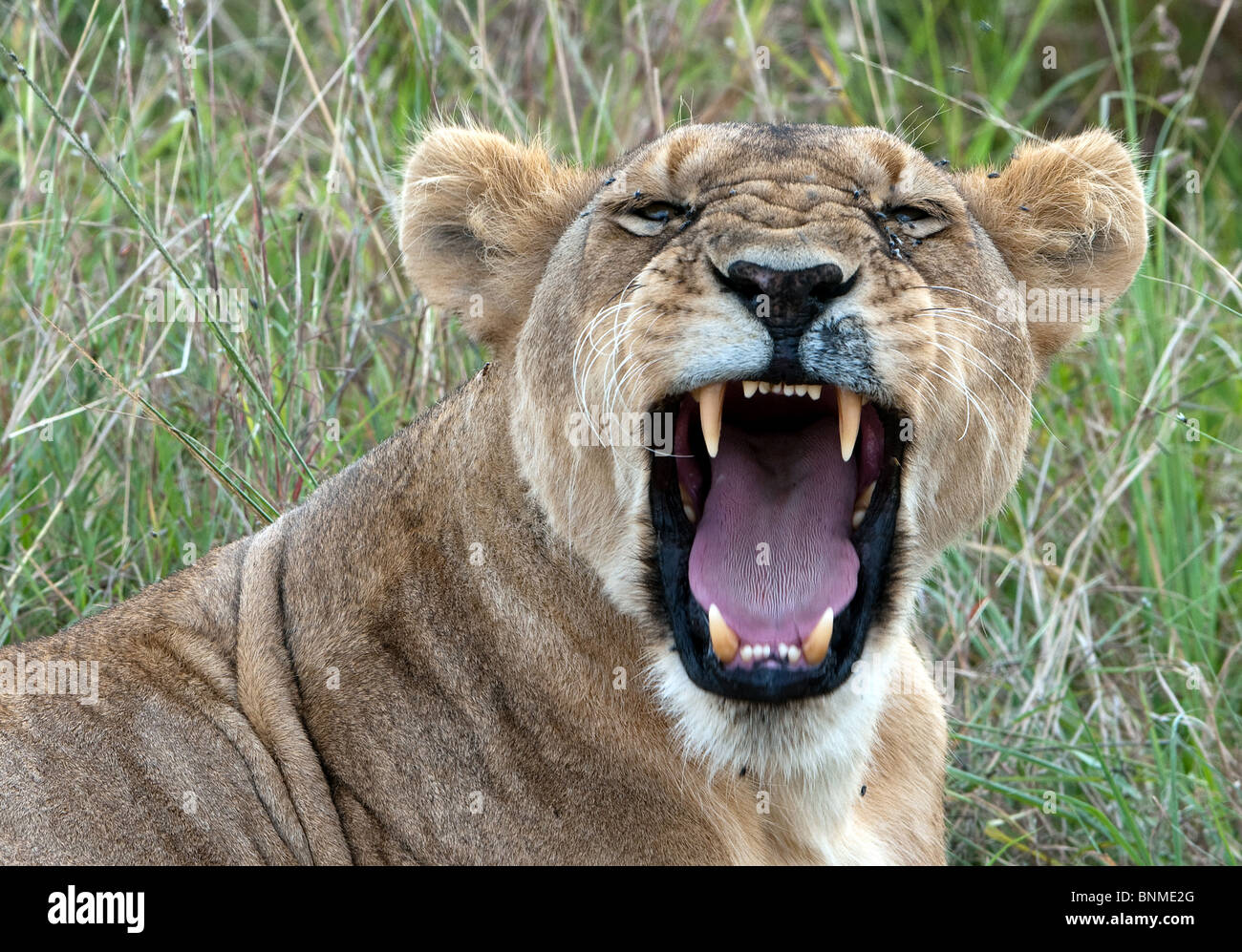 Snarling lioness Lioness (Panthera leo nubica) in the Masai Mara National Reserve, Kenya in the Masai Mara - Stock Image