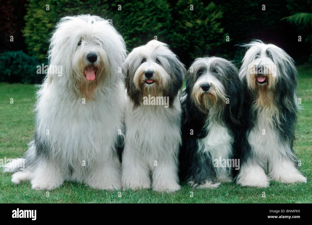 Bobtail Bearded Collie dog pet hound breed animal portrait Old Stock ...