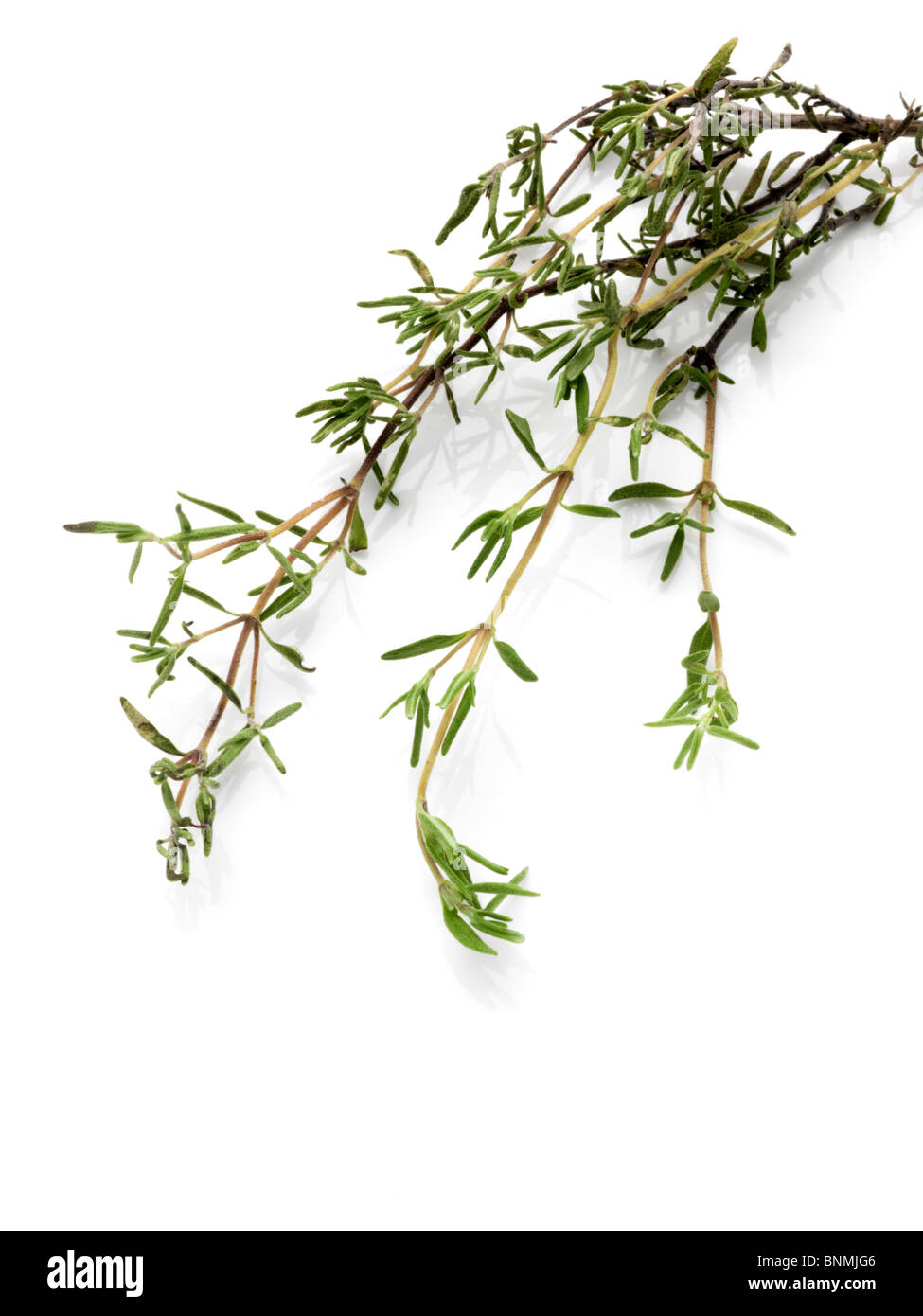 Thyme on a white background - Stock Image